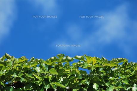 緑の葉と青空 FYI00335799