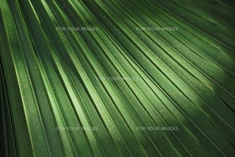 日の当たるヤシの葉 FYI00335873