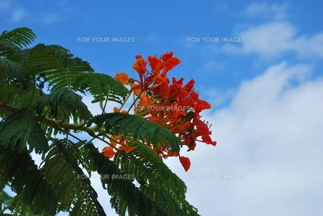 ホウオウボクの赤い花 FYI00335955