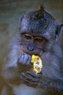 猿のヘアー FYI00336449