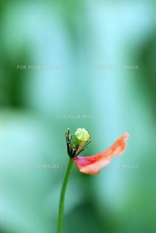 花びらの散ったポピー FYI00363364