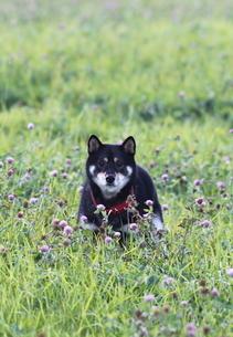 黒柴犬テツくん FYI00364252
