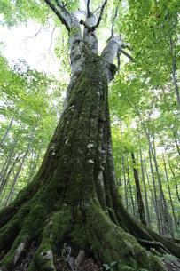日本一のブナの大木 FYI00364270