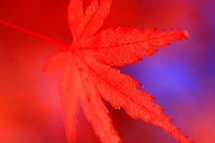 真っ赤な秋 FYI00368086