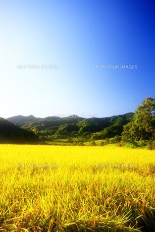 黄金色の秋 FYI00368089