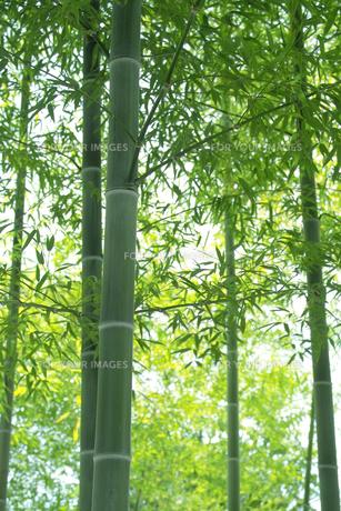 竹林の青竹と青笹 FYI00377252