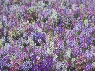 一面の花畑 FYI00377398