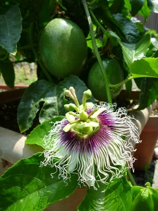 パッションフルーツの花 FYI00377402