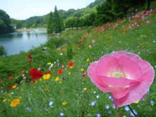 ピンク色の花のある風景 FYI00377409