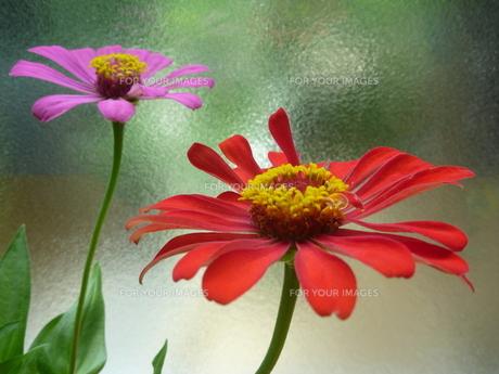 ピンクと赤の百日草2輪 FYI00377413