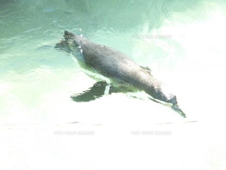 泳ぐペンギン FYI00377421