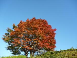 秋晴れの空に映える紅葉の木 FYI00377424