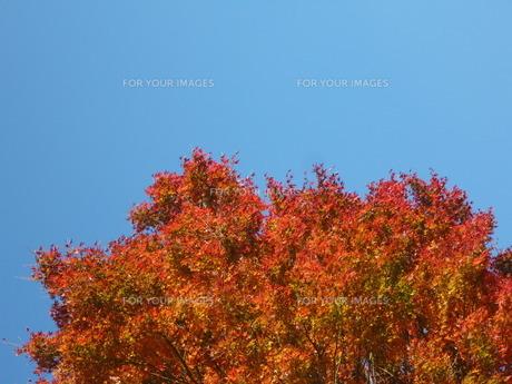 青空と紅葉 FYI00377437
