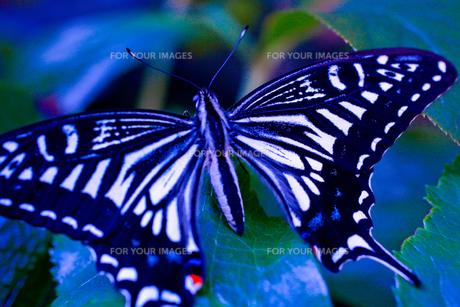 青い蝶 FYI00378040