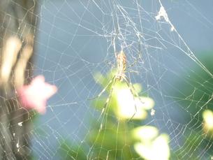 蜘蛛 FYI00378784