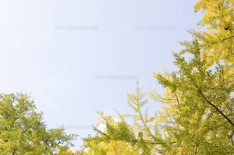 紅葉したイチョウの木々 FYI00382053