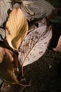 水滴のついた落ち葉 FYI00382321