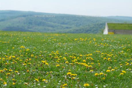 タンポポがいっぱいの草原 FYI00382331