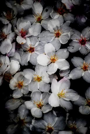 水桜 FYI00383004