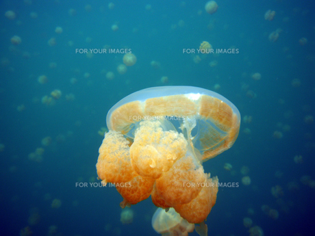 Jellyfish FYI00383008