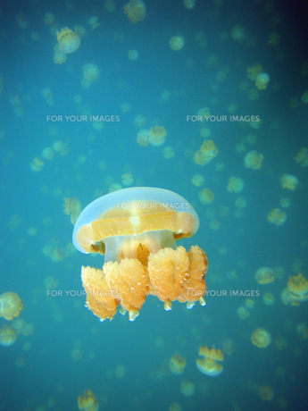 Jellyfish FYI00383010