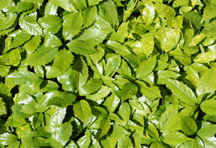 新緑の葉 FYI00384788