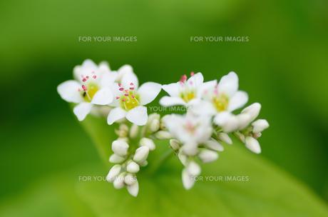 蕎麦の花 FYI00385050