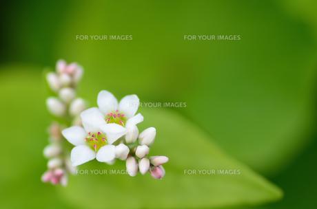 蕎麦の花 FYI00385055