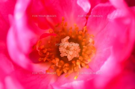 薔薇のクローズアップ FYI00385076