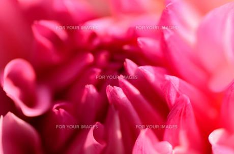桃色のダリア FYI00385097