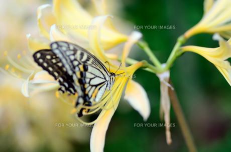 アゲハチョウと彼岸の花 FYI00385104