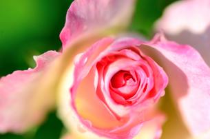 薄桃色の薔薇のクローズアップ FYI00385144