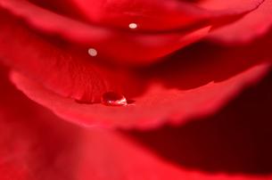 赤い薔薇の花びらの水滴 FYI00385149