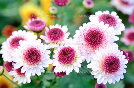 白と紫色のスプレー菊 FYI00385162