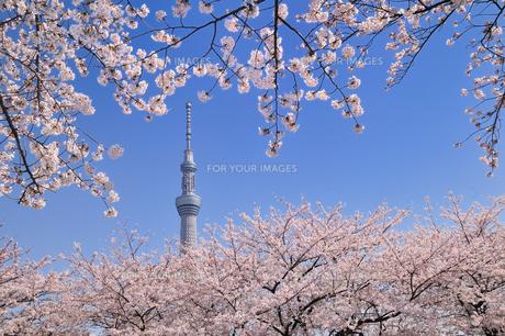スカイツリーと桜 FYI00388943