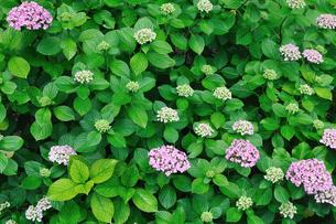 紫陽花 FYI00389219