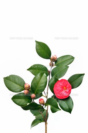 椿の花 FYI00390939