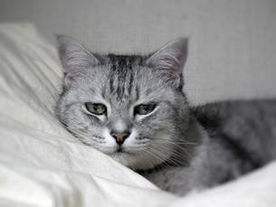 鯖トラの猫 FYI00393389