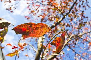 ハナミズキの紅葉(仰視) FYI00396875