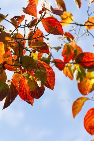 ハナミズキの紅葉(縦) FYI00396890