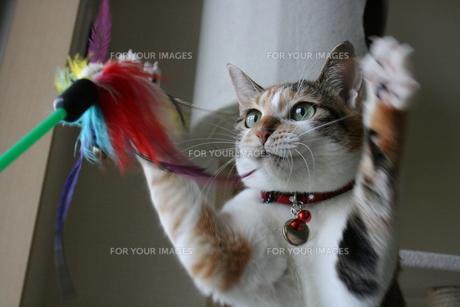 三毛猫と猫じゃらし FYI00405236