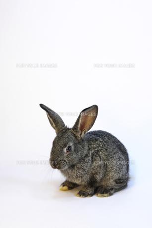 子ウサギ FYI00405306
