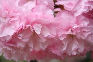 八重桜 FYI00406056
