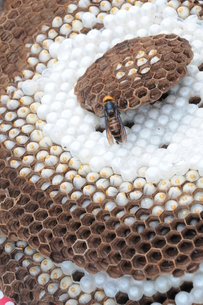 オオスズメバチ の巣に 女王蜂 FYI00407129