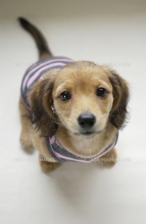 子犬 FYI00407358