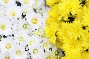 黄色と白 FYI00413787