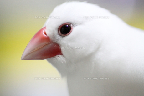 白文鳥 FYI00413789