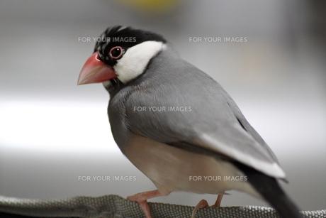 文鳥 ミカゲ FYI00413799