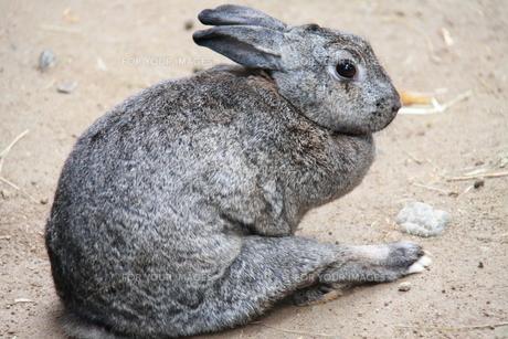 ウサギ FYI00413821