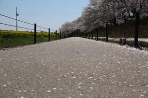 桜 FYI00414267